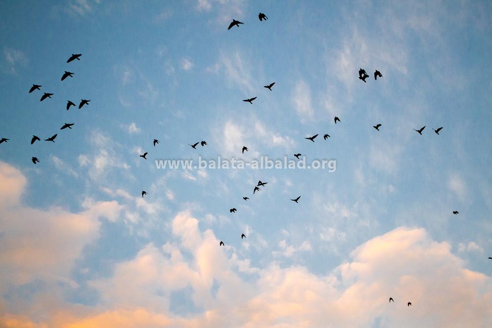 الطيور في سماء تل بلاطة