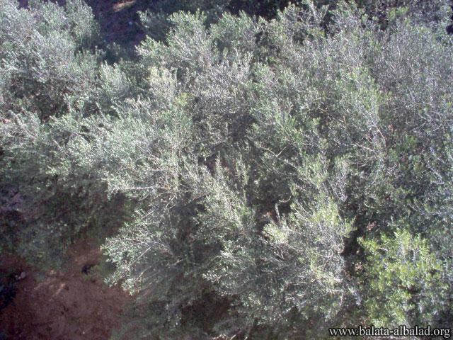 منطقة الطاحونة شمالي بئر يعقوب
